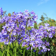 Beautiful Blue Alium blossom — 图库照片