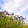 Great globe thistle, Echinops sphaerocephalus — Stock Photo #10544815