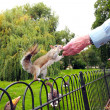 Old man feeding a squirrel in St James Park, London — Stock Photo