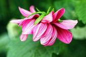Bela dalia fundo rosa, dália — Foto Stock