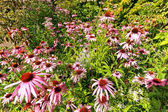 Summer meadow of Echinacea Purpurea — Stock Photo