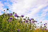 Great globe thistle, Echinops sphaerocephalus — Stock Photo