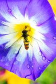 вьюнок триколор с пчелой крупным планом — Стоковое фото