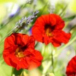 Beautiful red nasturtium in the garden - Stockfoto