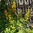 Yellow loosestrife, Lysimachia punctata in the garden - Stockfoto