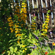 Yellow loosestrife, Lysimachia punctata in the garden - Stok fotoğraf