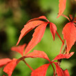 Red ivy leaves in Autumn close up - Stockfoto