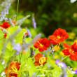 Beautiful red nasturtium in the garden - Photo