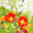 Beautiful red nasturtium in the garden — Stock Photo #8407717