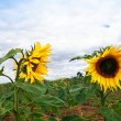 Two sunflowers growing in the field - Photo