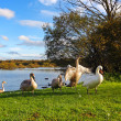Family of swans in the park - Stok fotoğraf