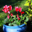 Pink cyclamen growing in the garden - Stok fotoğraf