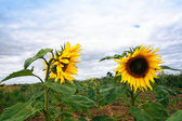 Two sunflowers growing in the field — Stock Photo