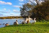 Famille de cygnes dans le parc — Photo