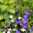 Blue and white lobelias in the garden — Lizenzfreies Foto