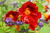 Beautiful red nasturtium after raining — Stockfoto