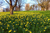 Meadow of daffodiles in the park — Stock Photo