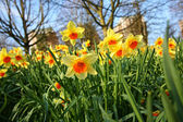 Meadow of daffodils in the park — Stock Photo