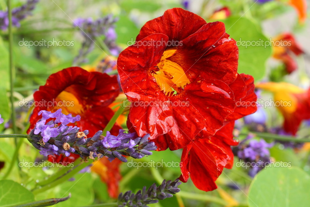 Beautiful red nasturtium after raining — Stock Photo #9858065