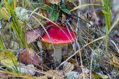 Agaric mushroom — Stock Photo