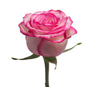 Rose on the white background (isolated) — Stockfoto
