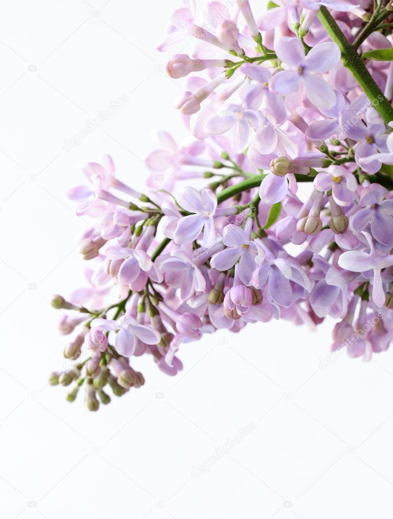 Bunch of violet lilac flower on white  — Stock Photo #10374309