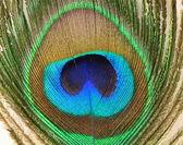 Paví peří na bílém pozadí — Stock fotografie