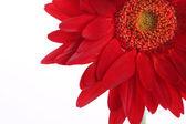 红色非洲菊和用水的花瓣放在白色 — 图库照片