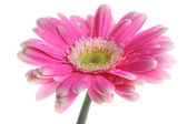 Fresh pink gerbera in with dew — Стоковое фото