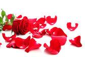 Rose rouge & pétales — Photo