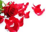 Red Rose & Petals — Foto de Stock