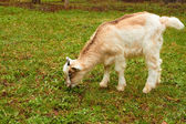 Goatling on the pasture — Stock Photo