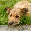 Rambling dog lying on green grass — Stock Photo #10212204