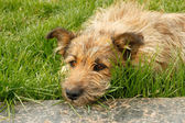 Rambling dog lying on green grass — Stock Photo