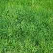 Stock Photo: Green grass as herbal texture