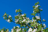 Flowering apple branch — Stock Photo