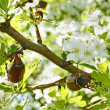 Chafer beetles on flowering hawthorn tree — Stock Photo