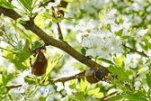 Chafer beetles on flowering hawthorn tree — Stock Photo