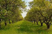 Orchard during springtime — Stock Photo