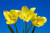Tulips against dark blue sky — Stock Photo
