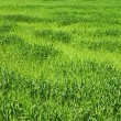 Green wheat field — Stock Photo