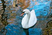 Adult white swan — Stock Photo