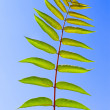 Leaf of Staghorn sumac — Stock Photo #8312598