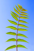 Leaf of Staghorn sumac — Stock Photo