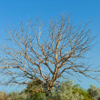 Stock Photo: Old withered walnut tree