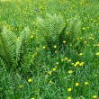 Stock Photo: Dandelions and other motley grass