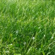 Grasses lawn — Stock Photo