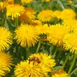 Dandelion flowers in sunlight — Stock Photo