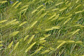 Green barley ears — Stock Photo