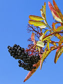 Black elder berries — Stock Photo